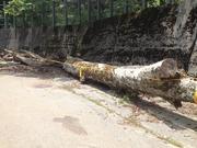 名車2000GTの倒木を見てきました